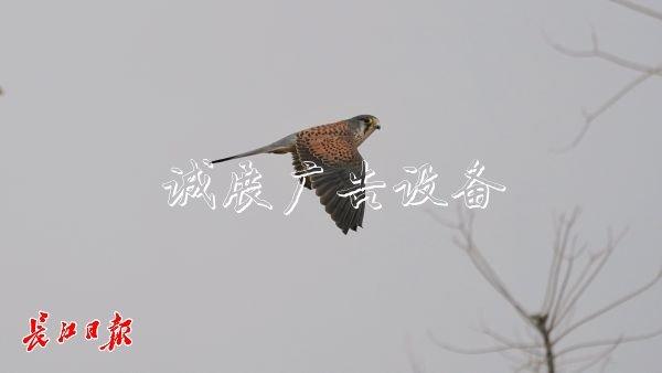 """""""城市小猎人""""红隼现宣传栏身汉口江滩,它爱吃鼠类"""